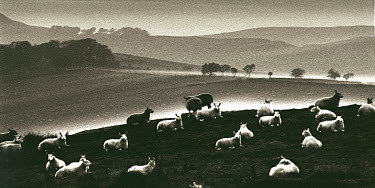 Neil Denham FLOCK OF SHEEP Animals