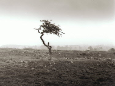 Neil Denham SMALL TREE IN FIELD Trees/Forest