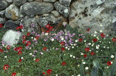 Bruce Chatwin CLOSE UP OF FLOWERS BY STONE WALL Flowers/Plants