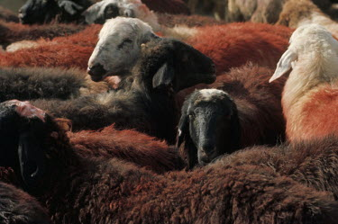 Bruce Chatwin HERD OF SHEEP DYED WITH HENNA Animals