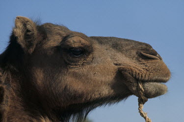 Bruce Chatwin CLOSE UP OF HEAD OF CAMEL Animals