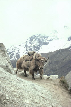 Bruce Chatwin YAK WALKING ON MOUNTAIN PATH WITH SNOW Animals