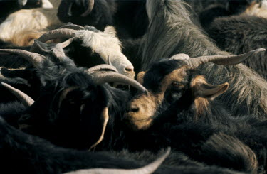 Bruce Chatwin CLOSE UP OF HERD OF GOATS Animals