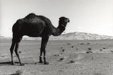Michael Trevillion CAMEL IN DESERT Animals