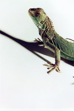 Michael Trevillion GREEN LIZARD Animals