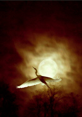 Ilona Wellmann BIRD FLYING IN FRONT OF MOON Birds
