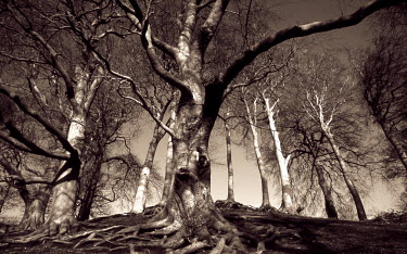 Graham Hunt SEPIA FOREST Trees/Forest
