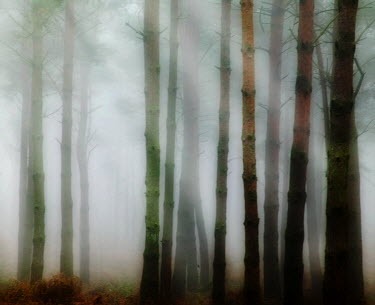 Amanda D'Arcy TREES IN MISTY FOREST Trees/Forest