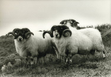 Michael Trevillion RAMS IN FIELD Animals