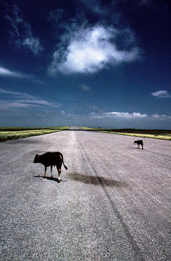 Alexandra Murphy COUNTRY HIGHWAY WITH COWS Animals