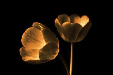 Ilona Wellmann TULIPS Flowers