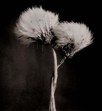 Colin Thom two dandelion wild flowers in black and white Flowers