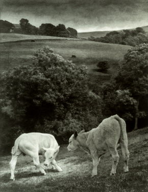 Andrew Sanderson TWO CALVES ON HILL Animals