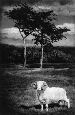 Andrew Sanderson RAM IN FIELD Animals