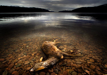 Colin Campbell DEER DROWNED BY LAKE Animals