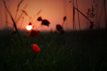 Marcin Bublewicz POPPY FIELD AT SUNSET Fish