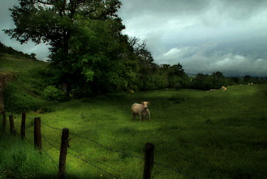 Maurizio Blasetti COW IN FIELD Fields