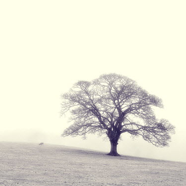Steve Gosling TREE IN MISTY FIELD Trees/Forest
