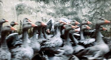 Jessica Hilltout FLOCK OF GEESE Birds
