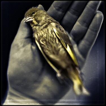 Mark Sadlier DARK HAND HOLDING DEAD BIRD Birds