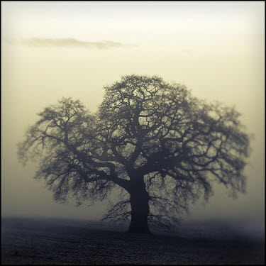 Mark Sadlier TREE IN FOG Trees/Forest