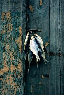 Katya Evdokimova DEAD FISH HANGING ON WALL Fish