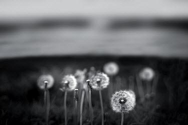 Chris Friel DANDELIONS IN FIELD Fields