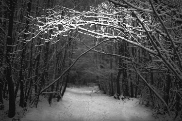 Chris Friel SNOWY FOREST PATH Trees/Forest
