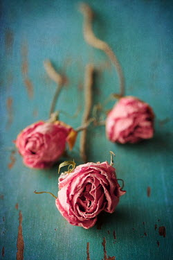 Susan Fox PINK WITHERING ROSES ON TABLE Flowers/Plants