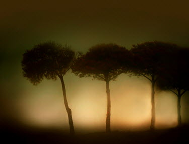 Laura Franco SILHOUETTED TREES WITH HAZE Trees/Forest