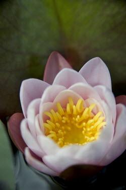 Harry Pettis PINK FLOWER Flowers/Plants