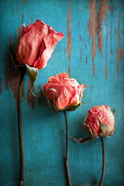 Susan Fox STILL LIFE THREE WITHERING ROSES Flowers/Plants