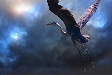 Ron Jones HERON IN FLIGHT Birds