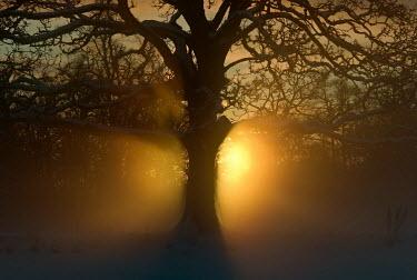 Edward Jones TREE IN SILHOUETTE Trees/Forest
