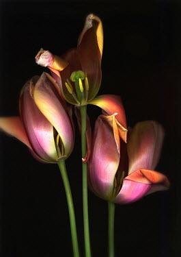 Harry Pettis BEAUTIFUL TULIPS Flowers/Plants