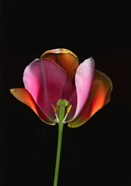 Harry Pettis BEAUTIFUL TULIP Flowers/Plants