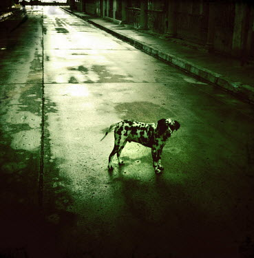 Lee Frost Dalmation standing in deserted road Animals