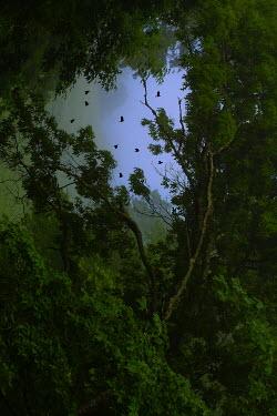 Ron Jones FLOCK OF BIRDS FLYING OVER TREETOPS Birds