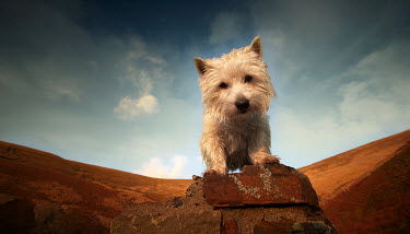 Coltrane Koh HIGHLAND TERRIER ON WALL WITH HILL Animals