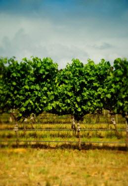 Douglas Black Grape vine Fields