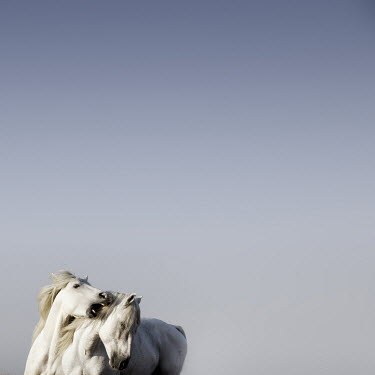 Jonathan Chritchley TWO PLAYFUL WHITE HORSES Animals