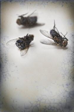 Lee Avison THREE DEAD FLIES Insects