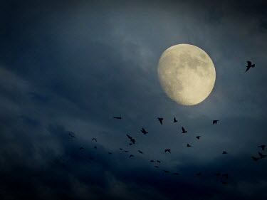 Katarina Ivicevic FLOCK OF BIRDS AT NIGHT WITH MOON Birds