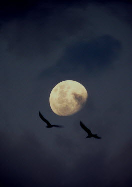 Katarina Ivicevic BIRDS FLYING AT NIGHT WITH MOON Birds