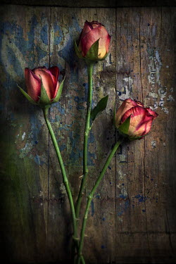 Paul Knight THREE PINK ROSES ON WEATHERED WOOD Flowers/Plants