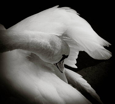 Niiv HEAD AND WING OF WHITE SWAN Birds