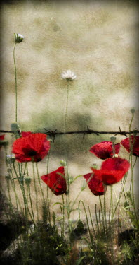 John Harrison RED POPPIES WITH BARBED WIRE Flowers/Plants