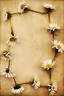 Peter Hatter DAISY CHAIN Flowers/Plants