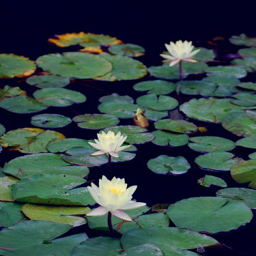 Jean Fan LILY PADS WITH FLOWERS ON POND Flowers/Plants
