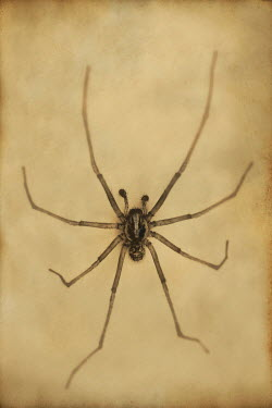 Peter Hatter SPIDER WITH LONG LEGS Insects